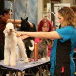 Bedlington Terrier at Dallas Pet Pro Classic 2016