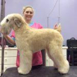 Tiger the Wheaten Terrier in the Wheaten Show Pattern